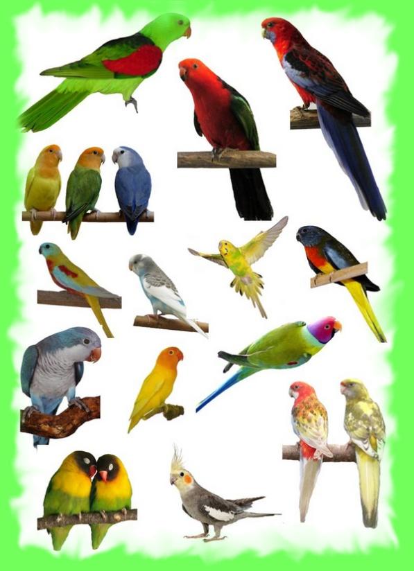Oiseaux bec crochu